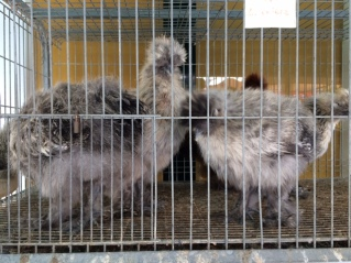 japanese chickens