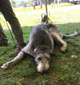 tired Irish wolf